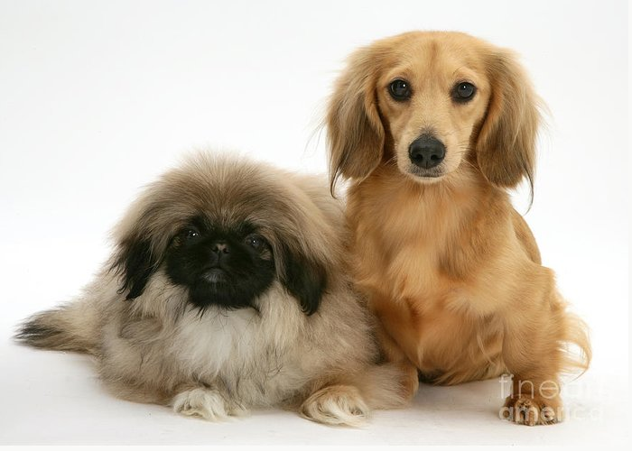 Animal Greeting Card featuring the photograph Pekingese And Dachshund Puppies by Jane Burton