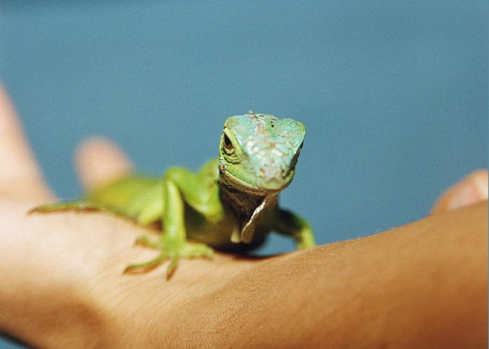 Common Iguana Greeting Card featuring the photograph Pet Iguana by Cristina Pedrazzini