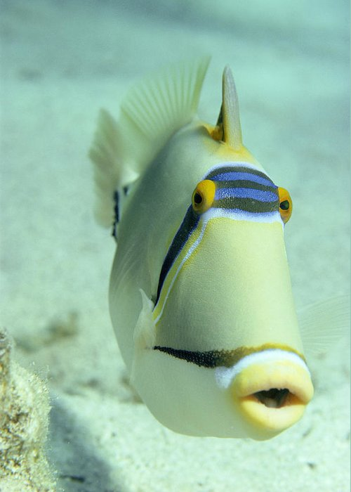 Picasso Triggerfish Greeting Card featuring the photograph Picasso Triggerfish by Georgette Douwma