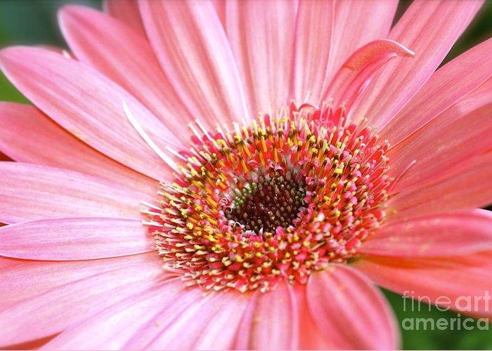 Pink Gerbera Greeting Card featuring the photograph Pink Gerbera by Mihaela Limberea