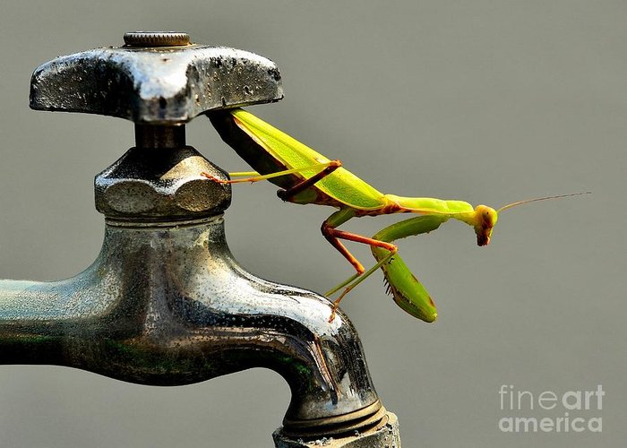 Praying Mantis Greeting Card featuring the photograph Praying Mantis by Dean Harte