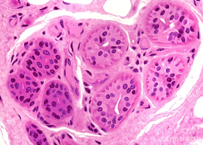 Light Microscopy Greeting Card featuring the photograph Primate Sweat Gland by M. I. Walker
