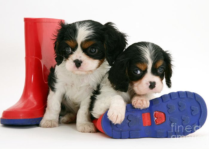 Animal Greeting Card featuring the photograph Puppies With Rain Boots by Jane Burton