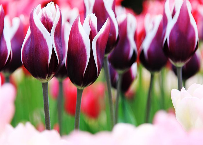 Tulips Greeting Card featuring the photograph Purplish Tulips by Kean Poh Chua