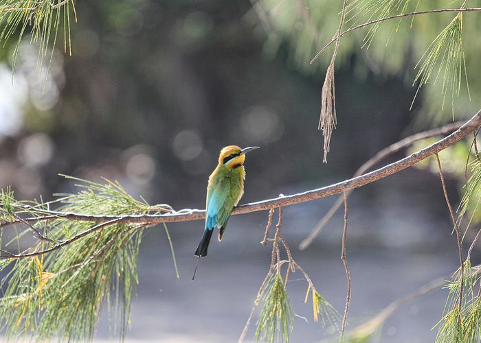 Rainbow Bee-eater Greeting Card featuring the photograph Rainbow Bee-eater V4 by Douglas Barnard