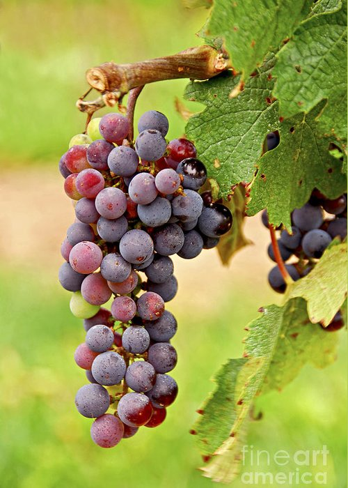 Grape Greeting Card featuring the photograph Red Grapes by Elena Elisseeva