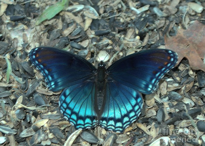 Insect Greeting Card featuring the photograph Red Spotted Purple Swallowtail Butterfly by Donna Brown