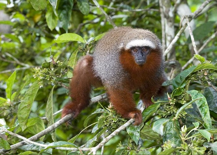 Callicebus Cupreus Discolor Greeting Card featuring the photograph Red Titi Monkey by Tony Camacho