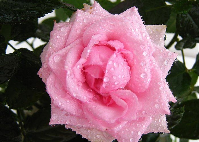 Rose Greeting Card featuring the photograph Rose With Droplets And Green Leaves by Cedric Sureau