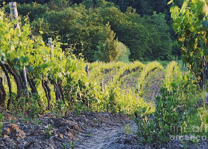Agriculture Greeting Card featuring the photograph Rows Of Grapevines At Sunset by Jeremy Woodhouse