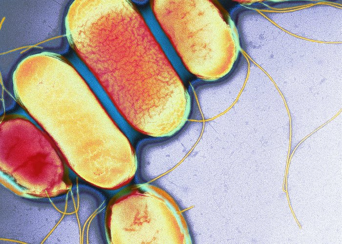 Salmonella Schotmulleri Greeting Card featuring the photograph Salmonella, Tem by Henrik Chart, Centre For Infectionshealth Protection Agency