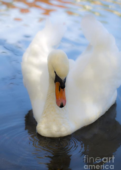 Swan Greeting Card featuring the photograph Serenity by Leslie Leda