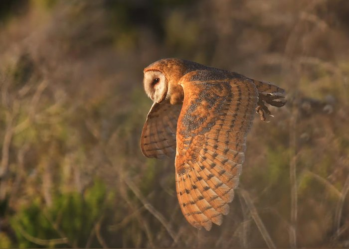 Barn Owl Greeting Card featuring the photograph Silent Hunter by Beth Sargent
