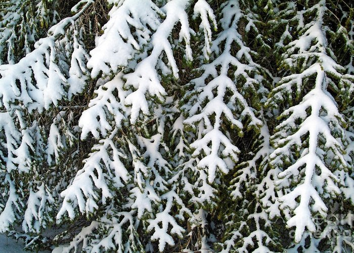 Branch Greeting Card featuring the photograph Snowy Fir Tree by Sami Sarkis