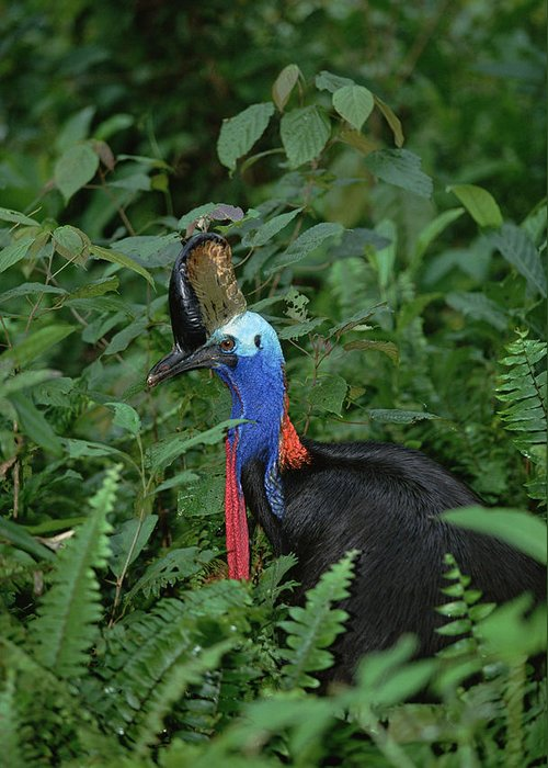 Mp Greeting Card featuring the photograph Southern Cassowary Casuarius Casuarius by Konrad Wothe