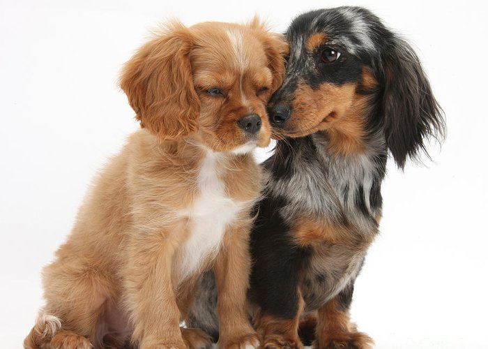 Animal Greeting Card featuring the photograph Spaniel & Dachshund Puppies by Mark Taylor