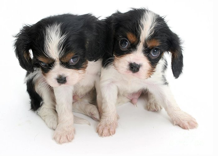 Animal Greeting Card featuring the photograph Spaniel Puppies by Jane Burton