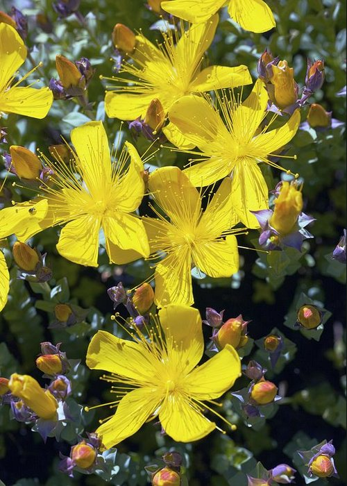 St John'ss Wort Greeting Card featuring the photograph St John's Wort (hypericum Sp.) by Dr Keith Wheeler