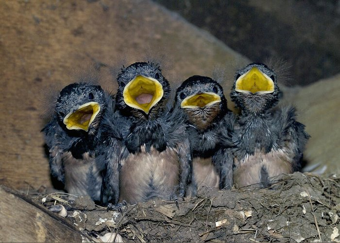 Hirundo Rustica Greeting Card featuring the photograph Swallow Chicks by Georgette Douwma
