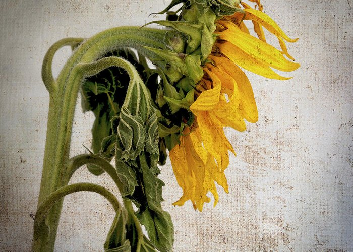 Alster Greeting Card featuring the photograph Textured Sunflower by Bernard Jaubert