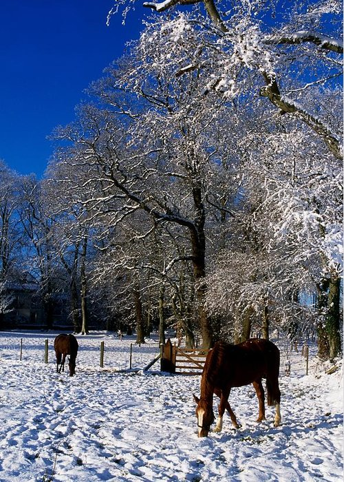 Agriculture Greeting Card featuring the photograph Thoroughbred Horses, Mares In Snow by The Irish Image Collection