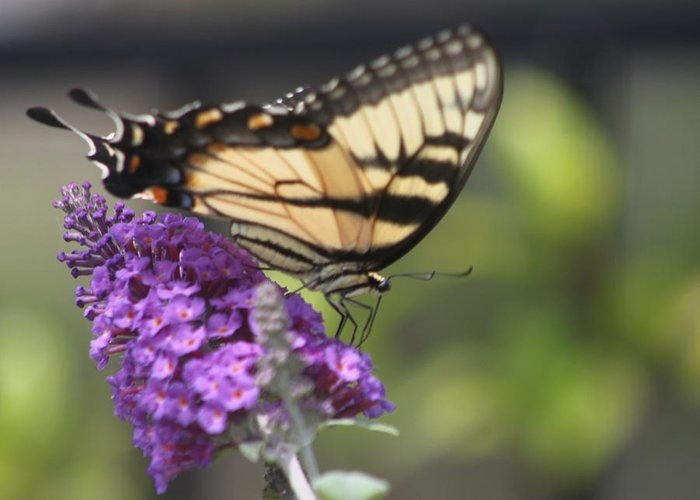 Butterfly Greeting Card featuring the photograph Tiger Swallowtail Butterfly by Jeanne Kay Juhos