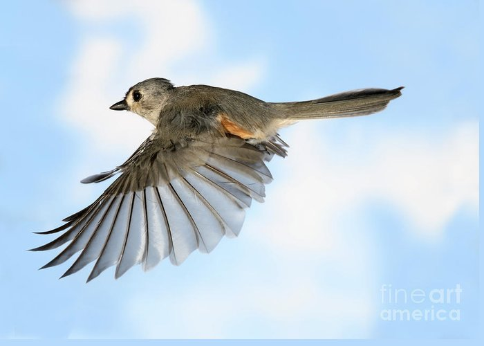 Songbirds Greeting Card featuring the photograph Tufted Titmouse In Flight by Ted Kinsman