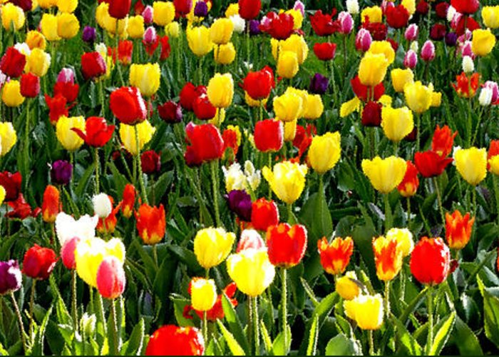 Tulip Garden Greeting Card featuring the photograph Tulip Garden University Of Pittsburgh by Thomas R Fletcher