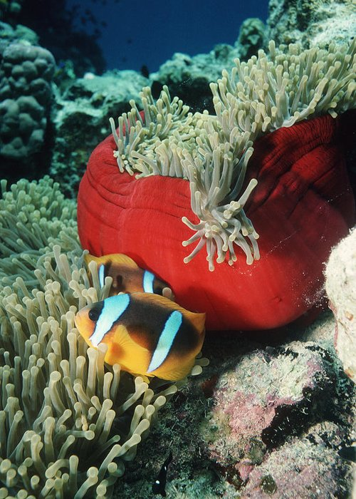 Clownfish Greeting Card featuring the photograph Twoband Anemonefish by Georgette Douwma