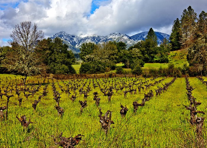 Vineyards Mt St. Helena Scene Greeting Card featuring the photograph Vineyards And Mt St. Helena by Garry Gay