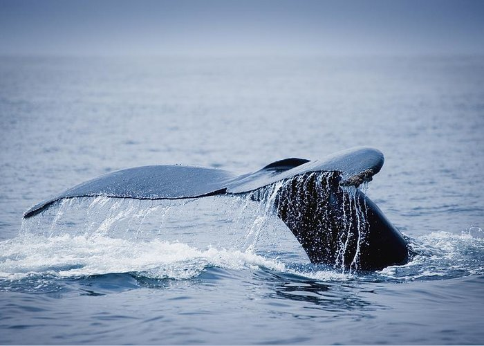 Outdoors Greeting Card featuring the photograph Whales Fluke by Darren Greenwood