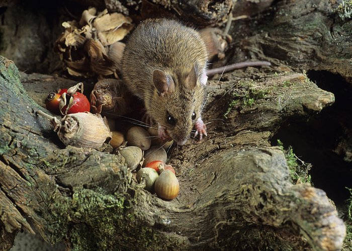 Apodemus Sylvaticus Greeting Card featuring the photograph Wood Mouse Feeding by David Aubrey