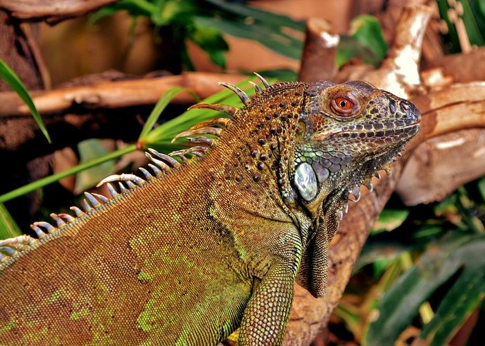 Close Up; Iguana; Lizard; Reptile; Colorful; Cold; Blood; Animal; Nature; Background; Decorative; Greeting Card featuring the photograph Iguana Lizard by Werner Lehmann