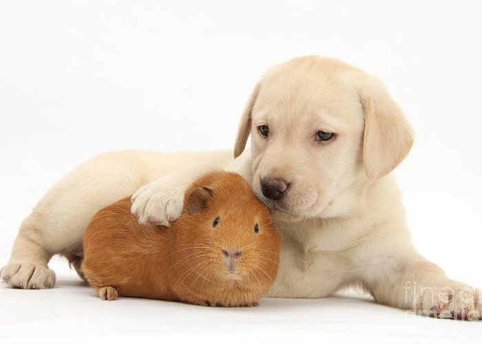 Animal Greeting Card featuring the photograph Puppy And Guinea Pig by Mark Taylor