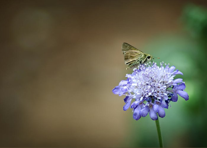 Skipper Moth Greeting Card featuring the photograph 1205-8785 Skipper On A Butterfly Blue Pincushion Flower by Randy Forrester