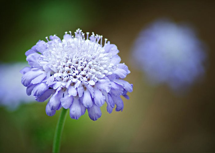 Butterfly Blue Pincushion Flower Greeting Card featuring the photograph 1205-8794 Butterfly Blue Pincushion Flower by Randy Forrester