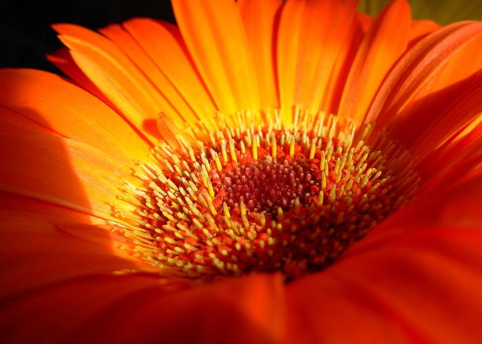 Gerbera Photographs Greeting Card featuring the photograph 1219 by Kimberlie Gerner