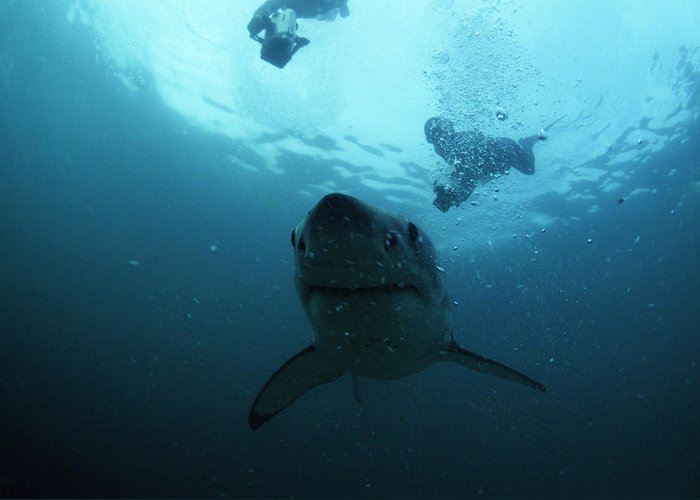 Carcharodon Carcharias Greeting Card featuring the photograph Great White Shark by Alexis Rosenfeld