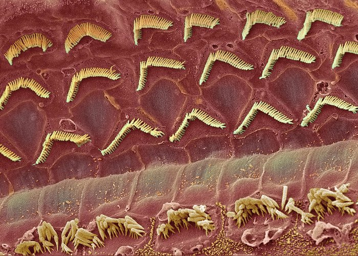 Magnified Image Greeting Card featuring the photograph Inner Ear Hair Cells, Sem by Steve Gschmeissner