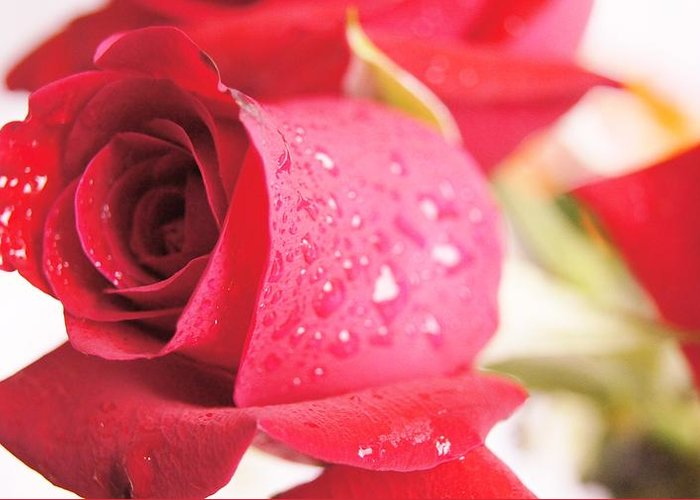 Greeting Card featuring the photograph Rose by Gornganogphatchara Kalapun