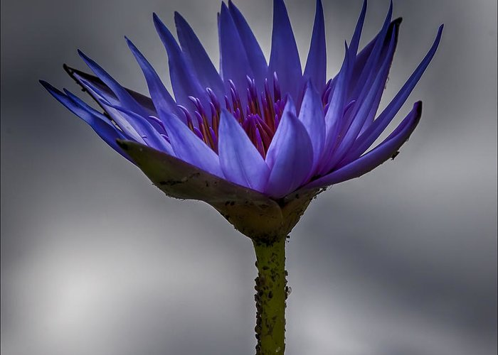 Water Greeting Card featuring the photograph Water Lily by Robert Ullmann