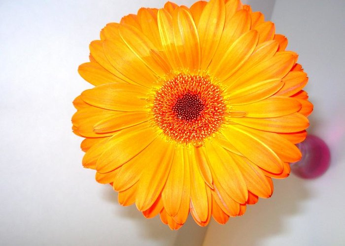 Gerbera Photographs Greeting Card featuring the photograph 1424c by Kimberlie Gerner