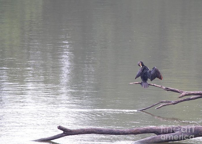 Nature Greeting Card featuring the photograph Double-crested Cormorant by Jack R Brock