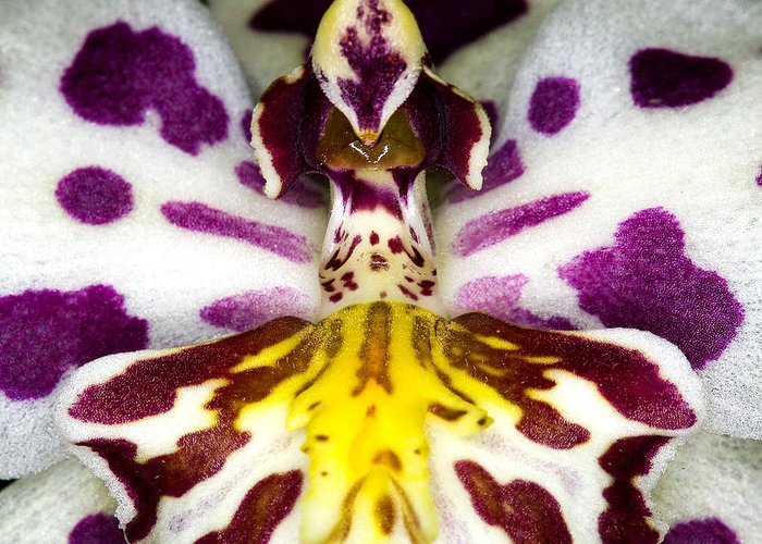 Orchid Greeting Card featuring the photograph Exotic Orchid Flower by C Ribet