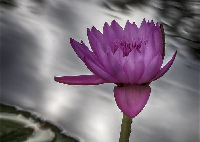 Water Lily Greeting Card featuring the photograph Water Lily by Robert Ullmann