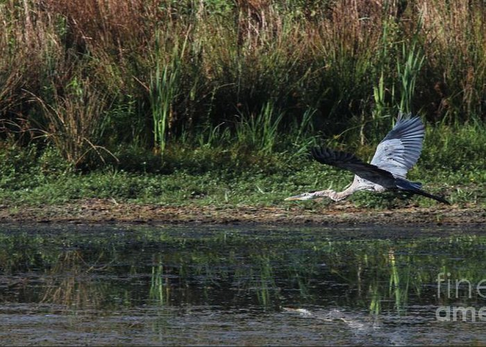 Nature Greeting Card featuring the photograph Great Blue Heron by Jack R Brock