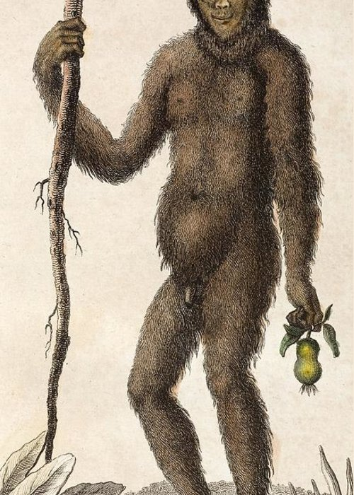18th Century Greeting Card featuring the photograph 1795 Wild Man Of The Woods - Orangutan. by Paul D Stewart