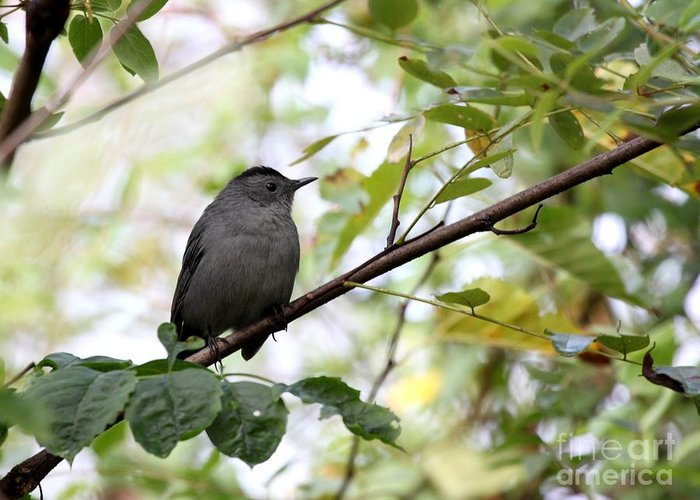 Nature Greeting Card featuring the photograph Gray Catbird by Jack R Brock
