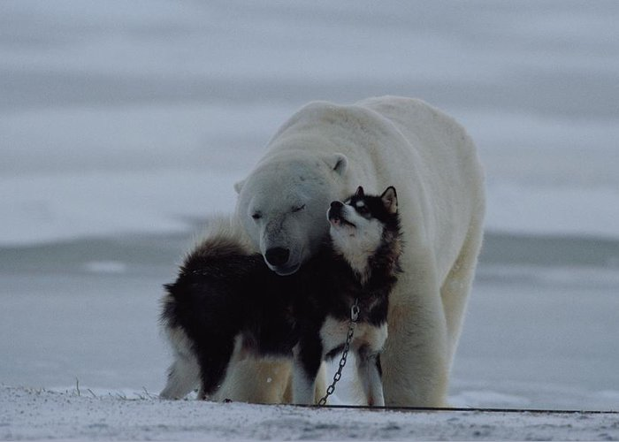 North America Greeting Card featuring the photograph A Polar Bear Ursus Maritimus by Norbert Rosing