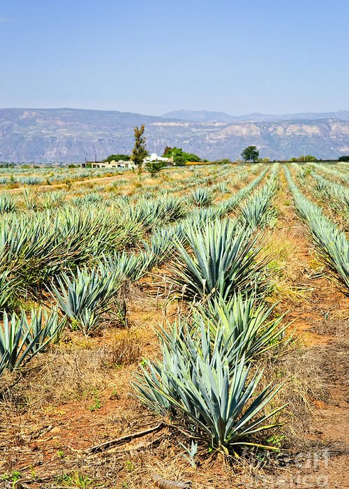 Agave Greeting Card featuring the photograph Agave Cactus Field In Mexico by Elena Elisseeva
